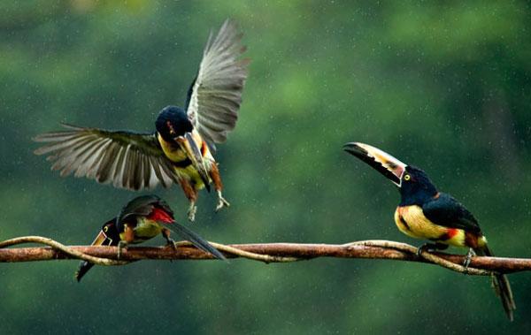 Финалист группы Мир природы - Спор работы Сандор Ясила - трое птичек арасари. Фото: pravda.com.ua