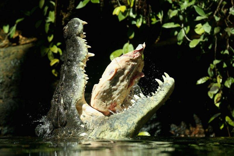 Сидней, Австралия, 3 октября. Рекс, один из самых крупных в мире крокодилов весом 700 кг, ест мясо после пробуждения из трёхмесячной зимней спячки в местном зоопарке. Фото: Cameron Spencer/Getty Images
