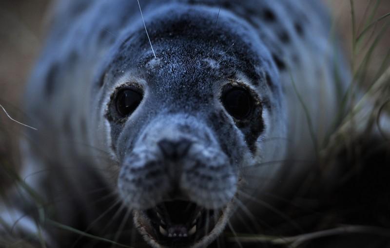 Серый тюлень. Фото: Jamie McDonald/Getty Images