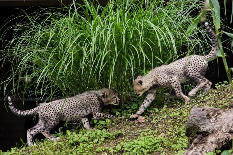 Вашингтон, США, 24 липня. Співробітники зоопарку представили відвідувачам тримісячних дитинчат гепарда. Фото: T.J. Kirkpatrick/Getty Images