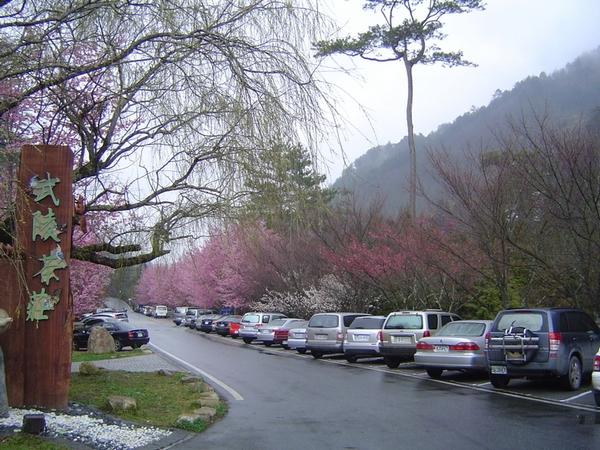 Цвітіння вишень на острові Тайвань. 24 лютого 2011 р. Фото: The Epoch Times