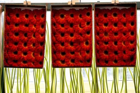 Упакованих в ящики квіти. Ізраїль. 5 лютого 2007 р. Фото: David Silverman/Getty Images