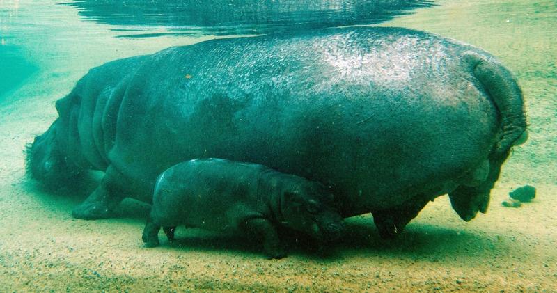 Берлин, Германия, 7 декабря. Двухнедельный малыш-бегемотик плавает в бассейне зоопарка рядом с мамой Кати. Имя малышу, появившемуся на свет 23 ноября, пока ещё не придумали. Фото: TIM BRAKEMEIER/AFP/Getty Images