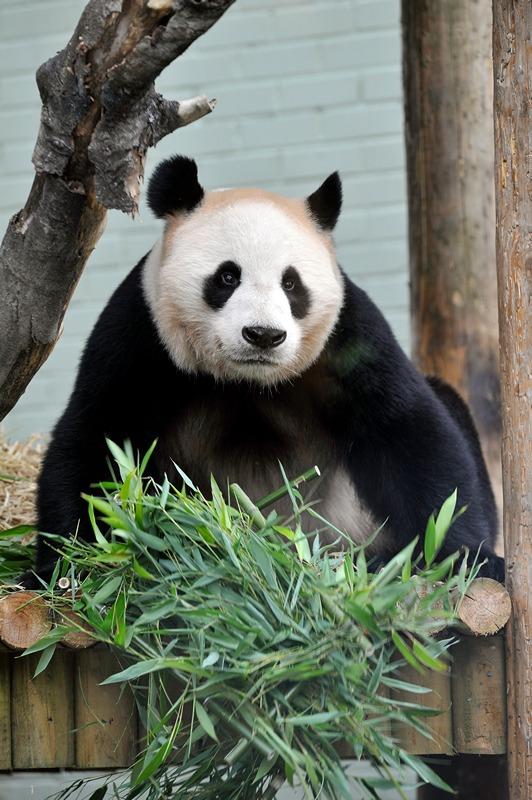 Велика панда Ян Гуан. Фото: Andy Buchanan/AFP/GettyImages