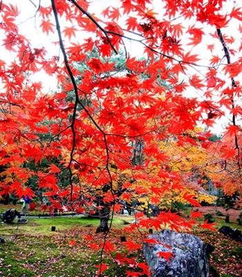 Осень в Японии. Фото: Junko Kimura / Getty Images
