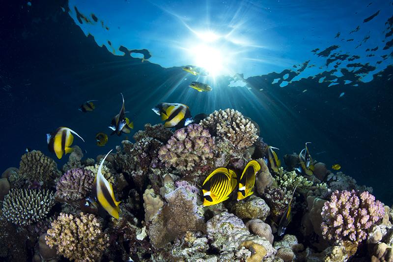 Енотовидные рыбы-бабочки (внизу по центру) прячутся в стае рыб-ангелов. Коралловый риф возле Шарм-эль-Шейха, Красное море. Категория «Широкоугольная съёмка», 3-е место. Фото: Pietro Cremone/rsmas.miami.edu