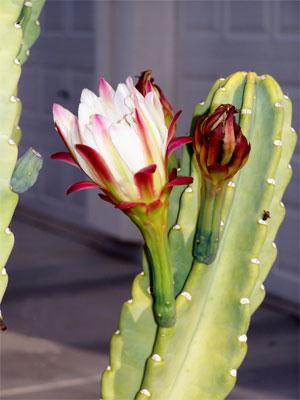 Квітучі кактуси. Фото: Лі Сінь/Велика Епоха