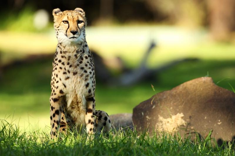 Гепард в зоопарку «Західні рівнини Таронга». Даббо, Австралія. Фото: Mark Kolbe/Getty Images