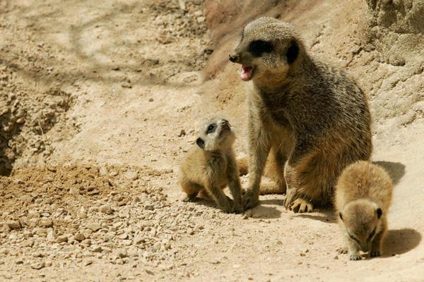 Сурикати в Лондонському зоопарку. Фото: CARL DE SOUZA / AFP / Getty Images