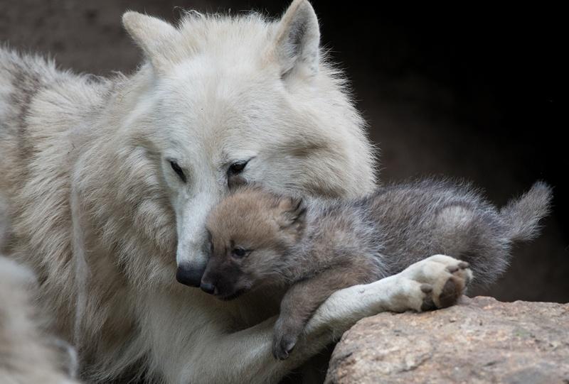 Берлин, Германия, 31 мая. В семействе волков берлинского зоопарка появилось пополнение. Месячного волчонка родители вывели на прогулку. Фото: JOHANNES EISELE/AFP/Getty Images