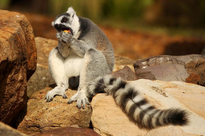 Котячий лемур уплітає фрукт. Зоопарк «Західні рівнини Таронга». Даббо, Австралія. Фото: Mark Kolbe/Getty Images