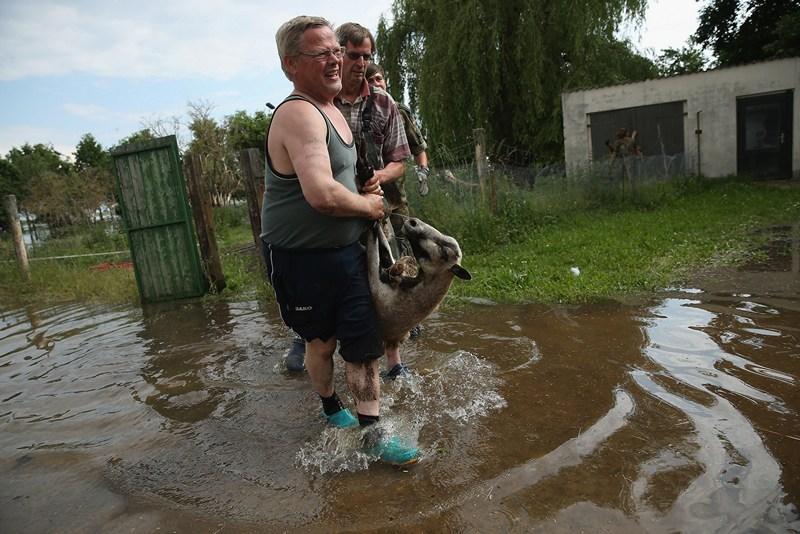Северная Эльба, Германия, 11 июня. Фермер спасает овцу от наводнения. Прорыв на дамбе привёл к затоплению окрестных полей и селений. Фото: Sean Gallup/Getty Images