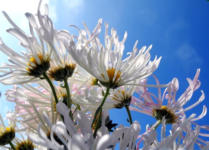У Нікітському саду в Ялті розцвіли хризантеми. Фото: Алла Лавриненко/Велика Епоха