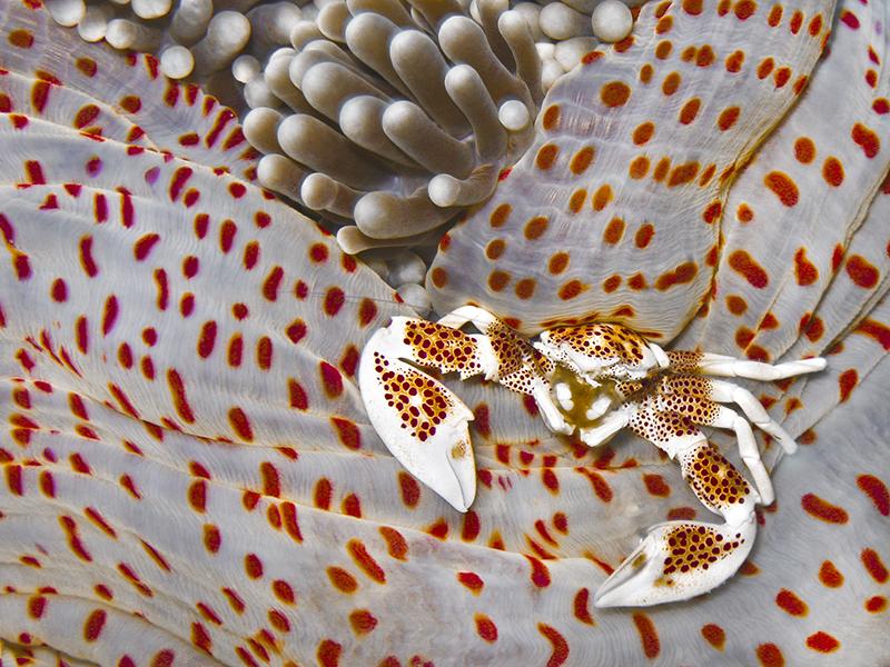 Анемоновый пятнистый краб. Ширина краба всего 15 мм. Остров Себу, Филиппины. Категория «Макросъёмка», 3-е место. Фото: Frederica Bambi/rsmas.miami.edu