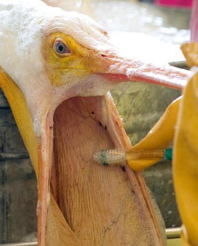 Нафтова пляма в Мексиканській затоці завдала величезної шкоди навколишньому середовищу. Добровольці відловлюють забруднених нафтою пеліканів і очищають їх від нафти. Фото: SAUL LOEB/AFP/Getty Images