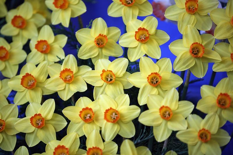 Харрогіт, Англія, 25 квітня. Нарциси на щорічній виставці весняних квітів, що проводиться Королівським садівничим товариством. Фото: Christopher Furlong/Getty Images
