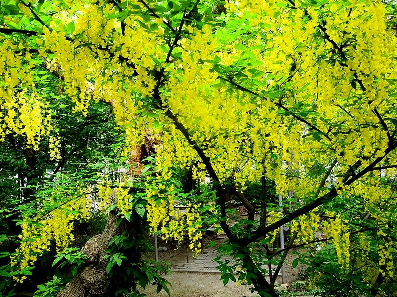 Весенняя Ялта. «Золотой дождь». Фото: Алла Лавриненко/Великая Эпоха