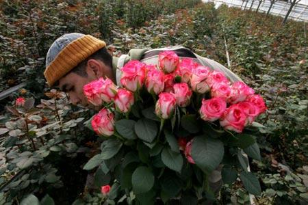 Рабочий собирает розы в одной из оранжерей Израиля. В течение 24 часов розы сортируют, упаковывают и доставляют грузовым самолетом европейским покупателям. Фото: David Silverman/Getty Images
