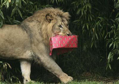 Лев несе загорнуту коробку з подарунками. Фото: Джастін Суліван/Getty Images