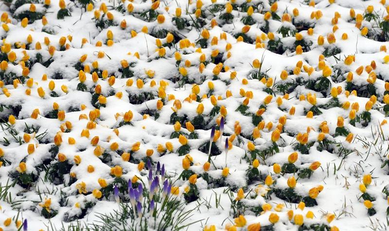 Дрезден, Німеччина, 11 березня. Покриті снігом крокуси та жовтець. Зима знову повернулася до Європи. Фото: MATTHIAS HIEKEL/AFP/Getty Images