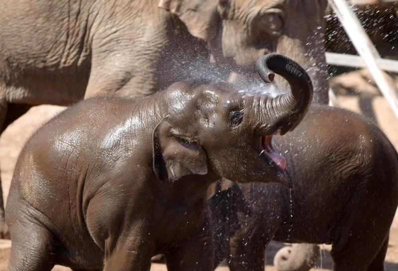 Честер, Англия, 22мая. Двухлетний слонёнок Найан в местном зоопарке спасается от жары под прохладным душем. Фото: Christopher Furlong/Getty Images