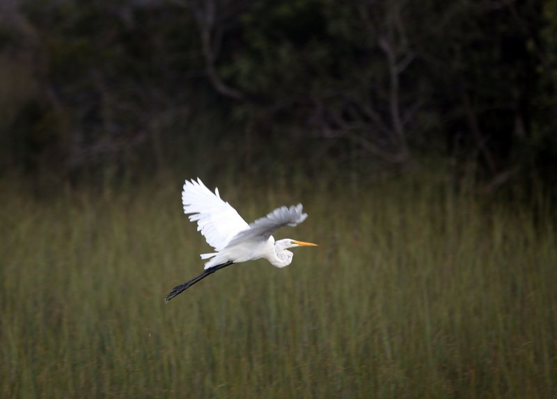 Большая белая цапля. Национальный парк Эверглейдс, Флорида. Фото: Joe Raedle/Getty Images