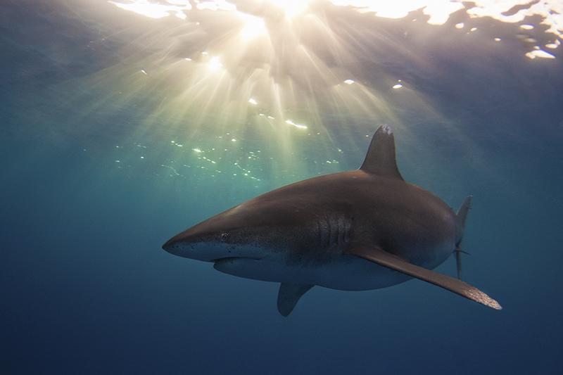 Длиннокрылая океаническая акула. Самая опасная акула в мире, по мнению Жака Ив Кусто. Остров Кэт, центральные Багамы. Категория «Студенческое фото», 3-е место. Фото: Austin Gallagher/rsmas.miami.edu
