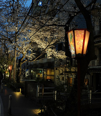 Японская сакура. Фото: Akihiro I/Getty Images