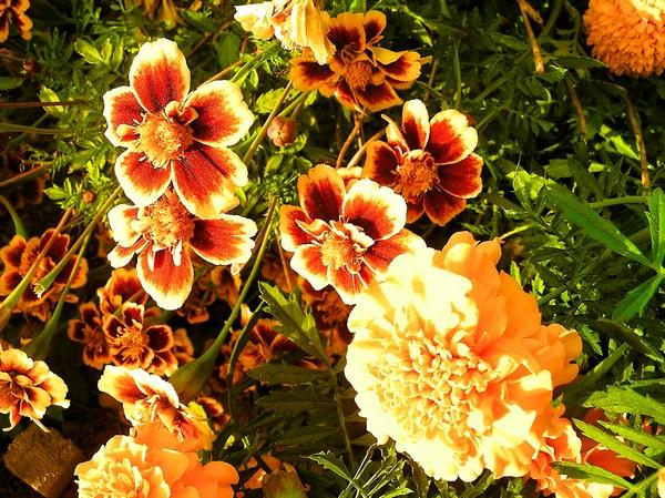 Пышные и очаровательные хризантемы. Фото: The Epoch Times