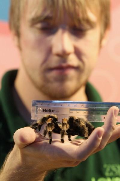 Зоолог Джефф Ламберт измеряет мексиканского красноколенного паука-птицееда Жаклин в Лондонском зоопарке, Великобритания, 25 августа 2011 г. Фото: Oli Scarff/Getty Images