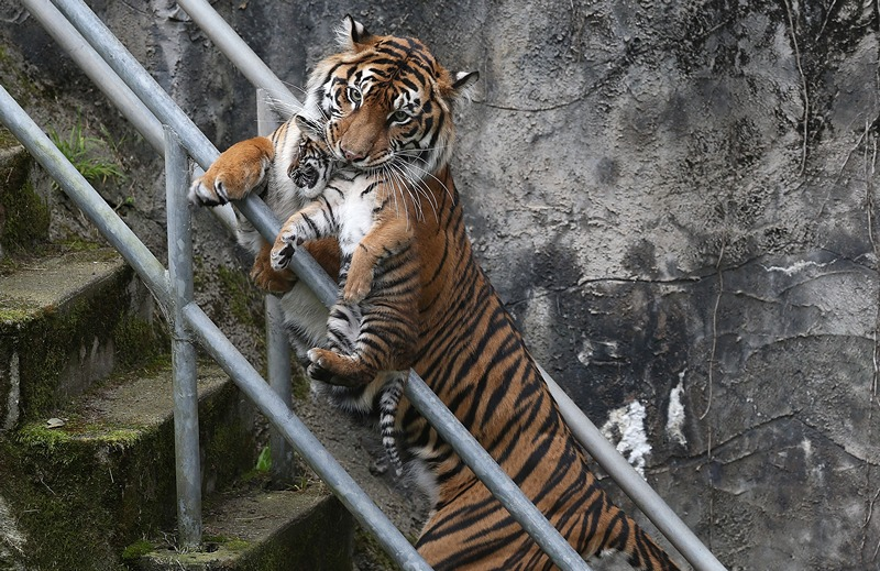 Тигриця Леанна несе тигреня в закриту частину вольєра. Фото: Justin Sullivan/Getty Images
