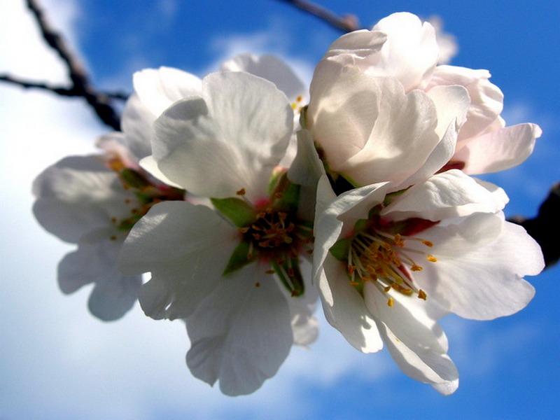 В Крыму цветёт Миндаль. Фото: Алла Лавриненко/Великая Эпоха