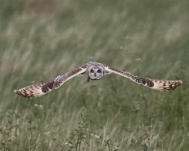 Полёт болотной совы. Графство Сомерсет, Англия. Фото: John Crabb/travel.nationalgeographic.com