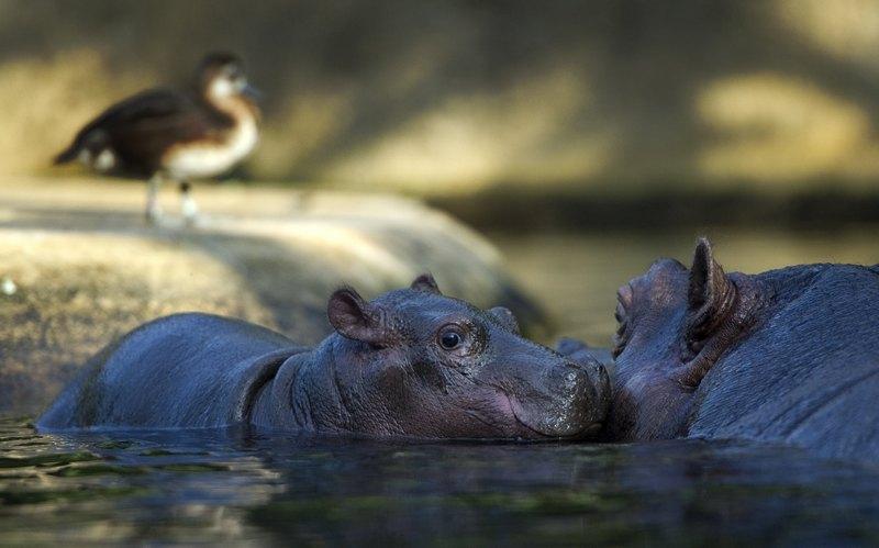 Бегемотиха Ніколь вчить дитину плавати. Фото: ODD ANDERSEN/AFP/Getty Images