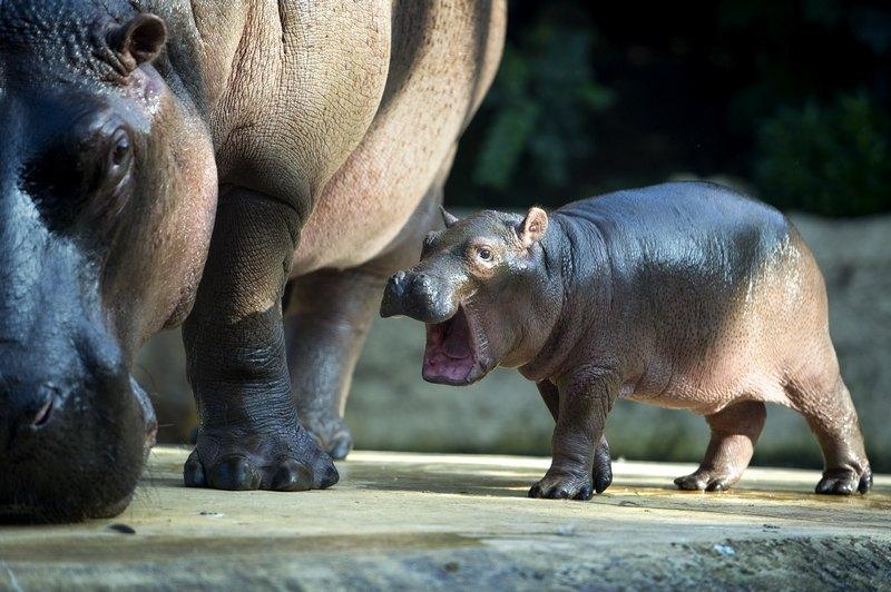 Бегемотиха Ніколь з малятком у Берлінському зоопарку. Фото: ODD ANDERSEN/AFP/Getty Images
