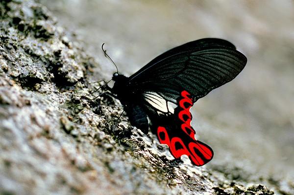 Чтобы заснять этот вид бабочек-широкохвостный Парусник, понадобилось целых десять лет. фото с еросhtimes.com.