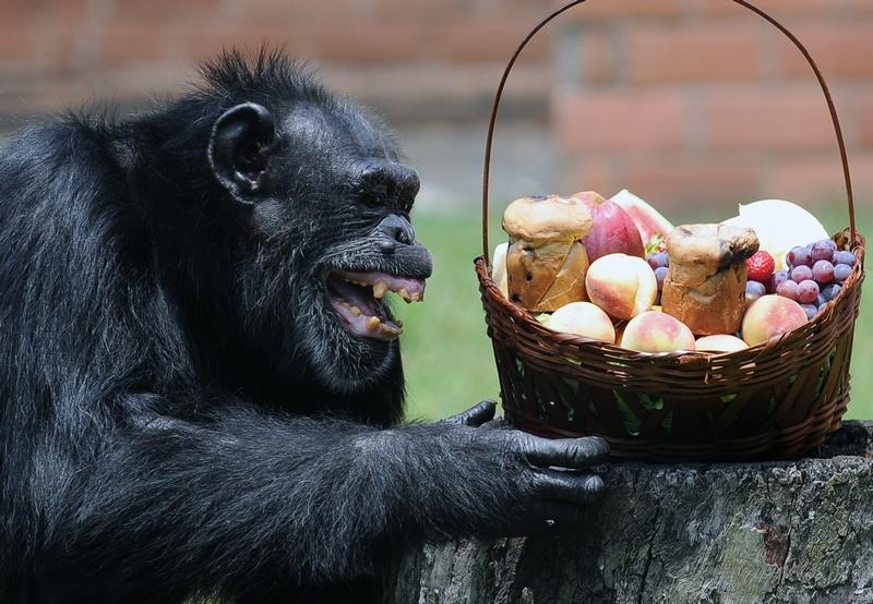 Рио-де-Жанейро, Бразилия, 18 декабря. Шимпанзе Йоко радуется праздничному угощению, которое получили все питомцы зоопарка. Фото: VANDERLEI ALMEIDA/AFP/Getty Images