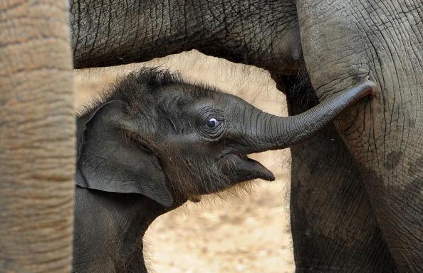 Азиатский слоненок Беби впервые показался публике. Мельбурнский зоопарк (Melbourne Zoo), Австралия. 10 февраля 2010г.Фото: WILLIAM WEST/AFP/Getty Images