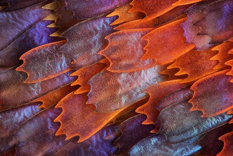 10-е місце. Лусочки на крилі метелика «Процілла прекрасна», зняті з 200-кратним збільшенням. Фото: Charles Krebs/Issaquah, Washington, USA