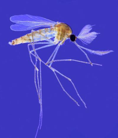 Мікрофотографія дорослого комара різновиду кулекс. Цей комар відкладає грона своїх яєць у воду, в якій потім мешкає личинка до свого перетворення на лялечку. З лялечки з'являється доросла особина. Цей процес у комара кулекс займає 2 літніх дні. Самець ком