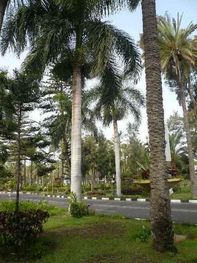 Александрия. Белые королевские финиковые пальмы. Фото: Елена ЗАХАРОВА. /The Epoch Times