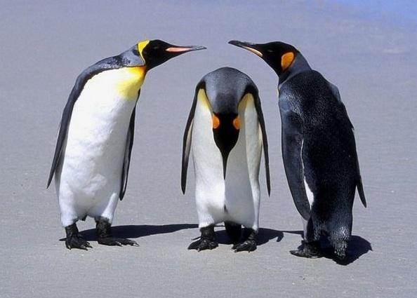 Пингвины — самые закаленные птицы. Фото:animalpix.ru
