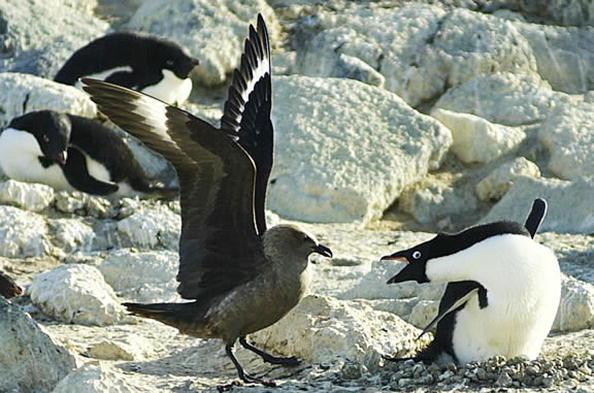 Пингвины - самые закаленные птицы. Фото:MELANIE CONNER/Getty Images