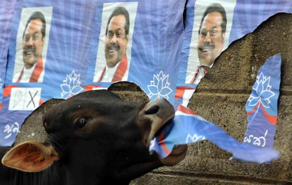 Бык нашел для себя еду – плакат Президента Шри-Ланки Махинды Раджапакси. Фото: LAKRUWAN WANNIARACHCHI/AFP/Getty Images