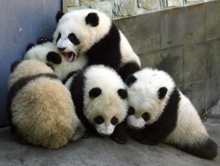 Панды играют в Исследовательском Центре по изучению гигантских панд в провинции Сычуань. Фото: China Photos/Getty Images