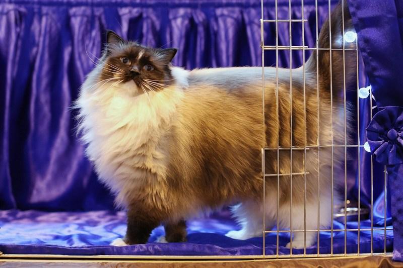 Бирмингем, Англия, 24 ноября. Крупнейшая выставка элитных котов и кошек открылась в 36-й раз. Выставка проводится всего один день. Один из участников — кот породы рэгдолл по имени «Поверьте в меня». Фото: Oli Scarff/Getty Images
