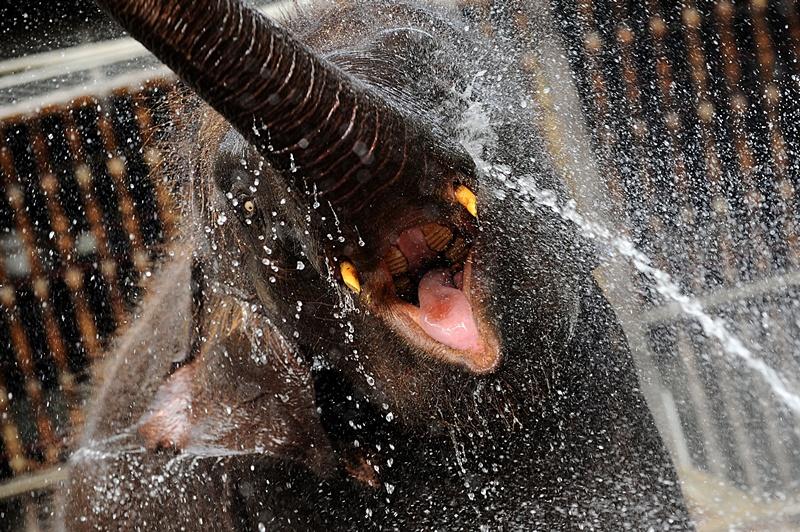 Коломбо, Шрі-Ланка, 5 липня. Слон рятується від спеки під струменем води. Фото: Ishara S.KODIKARA/AFP/Getty Images