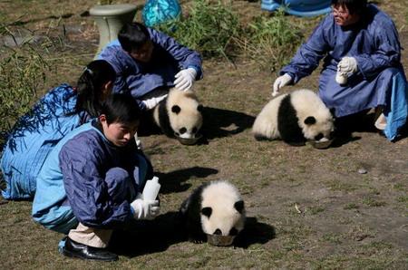 Работники Китайского Центра защиты и изучения гигантских панд кормят маленьких панд. Фото: China Photos/Getty Images