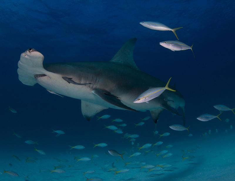 Гигантская акула-молот. Остров Северный Бимини, Багамские острова. Категория «Студенческое фото», 2-е место. Фото: Laura Rock/rsmas.miami.edu