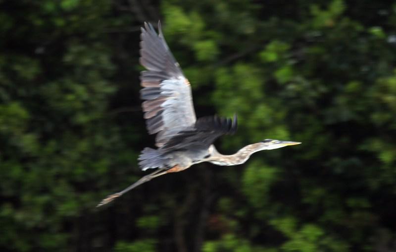 Голубая цапля. Национальный парк Эверглейдс, Флорида. Фото: Joe Raedle/Getty Images